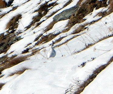 Oiseau des neiges. Je ne connais pas son nom  :oops: