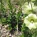 sonst nur in Bauerngärten zu finden - hier wild: Die Stockrose, eine Malvenart