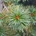 Pino cembro (Pinus cembra).