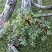 """Dafne mezereo (Daphne mezereum). Il nome della specie """"mezereum"""" significa """"mortale"""". La pianta è ovviamente molto velenosa."""