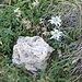 <b>Dolomia cariata e Edelweiss</b>.