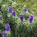 """Aconito (Aconitum napellus). Dal greco """"aconitum"""": velenoso. La pianta è tra le più velenose. Un tempo la si usava per avvelenare le punte delle lance. Contiene l'aconitina, alcaloide talmente tossico, che ormai è stato del tutto abbandonato dalla medicina ufficiale, per la sua pericolosità; attualmente viene usato solo in omeopatia, in cui si usano diluizioni così elevate, da renderne assolutamente tranquillo l'uso. L'avvelenamento si manifesta con un istantaneo formicolio intorno alla bocca, vomito, diarrea, morte per insufficienza respiratoria e cardiocircolatoria."""