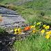 Blumenpracht bei der Chamanna Jenatsch