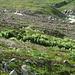 Ein Distelfeld auf dem Rückweg zur Chamanna Jenatsch.