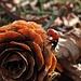 Wieder mal eine schöne Glückskäferüberraschung mitten im Winter / Un`altra bella sorpresa tipo coccinella-portafortuna in pieno inverno