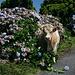 """Ilha do Pico - Hortensien und Rinder zählen definitiv zu den häufigsten Vertretern der azorischen """"Flora und Fauna"""". Der mitteleuropäische Zierpflanzenfreund erkennt hier nebenbei auch """"leichte"""" Größenunterschiede zwischen diesen Sträuchern und den entsprechenden Exemplaren im heimischen Blumentopf."""