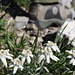 Edelweiss sous nos pieds