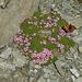 Schmetterlinge auf 3100 m