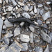 Alpensalamander [Salamandra atra] - total 7 sind uns begegnet an diesem feuchten Tag!