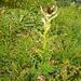Alpen-Kratzdistel [Cirsium spinosissimum].