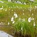 Schmalblättriges Wollgras [Eriophorum angustifolium] am Seewli.