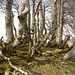 Bäume auf den Ober Scheidegg I