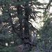 Knorrige alte Arven (Zirbelkiefer) im Weltnaturerbe