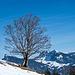 Ahorn auf Alp Schlund