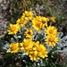 prächtig leuchtendes Einköpfiges Kreuzkraut (zeimlich selten: in der Schweiz nur zwischen Simplon und Zermatt anzutreffen)