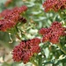 der seltene Rosenwurz (oder Wund-Mauerpfeffer?); in den inneren Ketten oder im mittleren, westlichen Wallis vorkommend