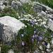 die ausgefransten Glockenblumen, zusammen mit kleinen Schafgarben und Gesteinen ein hübsches Arrangement bildend