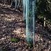 Junge Eiben, geschützt gegen Wildverbiss.