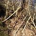 Die Gemeine Waldrebe (Niele) macht ihrem Namen alle Ehre ...