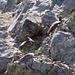 Schneehühner im Nationalpark
