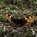 Noch ein / un`altro Kleiner Fuchs (Aglais urticae)