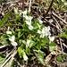 Weisse Veilchen (Viola alba)