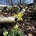 Die ersten Frühlings-Schlüsselblumen