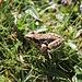 Rana alpina o Rana montana (Rana temporaria).