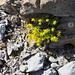 Setzt immer wieder willkommene Farbakzente: Alpen-Mauerpfeffer