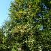 Die Eberesche mit ihren vitaminreichen Beeren ist im Hüenliwald oft anzutreffen.