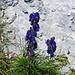 So richtig giftig: blauer Eisenhut