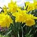 Ein virtueller Oster-Blumengruß....