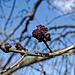 Am Kanal: blühende Esche (Fraxinus excelsior)