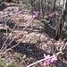 Daphne mezereum L.<br />Thymelaceae<br /><br />Fior di stecco, Dafne mezereo.<br />Bois gentil.<br />Echter Seidelbast.