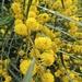 ...La Mimosa: in assoluto è la pianta piu diffusa dell'isola