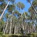 Föhrenwald am Grand Hohnack