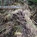 """Unterwegs ist gut sichtbar, dass der Üetlibergwald in den steilen Partien immer mehr zum """"Urwald"""" wird. Überall findet sich viel Altholz."""