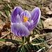 Schlüsselflue-Blume