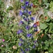 Natterkopf, nicht häufig, mediterrane Pflanze