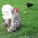 zum Fototermin plusterte sich der Hahn schnell auf .. das Huhn lässt sich aber nicht beeindrucken