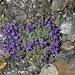 Tra i sassi cresce la Linaiola alpina (Linaria alpina)