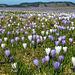 lila-weißes Blütenmeer- Krokuswiese auf dem Hündle