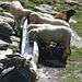 Die Schafe hatten auch Durst, finden hier oben auf ca. 2800 m sogar noch einen Brunnen vor