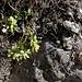 Wie immer blüht sie zuerst: Buchsblättrige Kreuzblume (Polygala chmaebuxus)