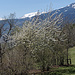 ... und Kirschbäume bei Wilawi