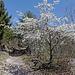 Kirschbaum unterhalb der Varner Suone
