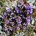 Blumenpracht auf dem Usser Gornerli: Feld-Kranzenzian (Gentianella campestris). <br /><br />Bin mir bei der Pflanze nicht 100% sicher, vielleicht kann sie mir jemand bestätigen.