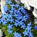 Aufstieg zum Basodino - die hochalpine Variante des Bayerischen Enzian (Gentiana bavarica subacaulis)