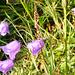 Alpe Randinascia - Glockenblumen mit Regentropfen