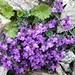 Am Grat zum Basodino: Alpen-Leinkraut (Linaria alpina)